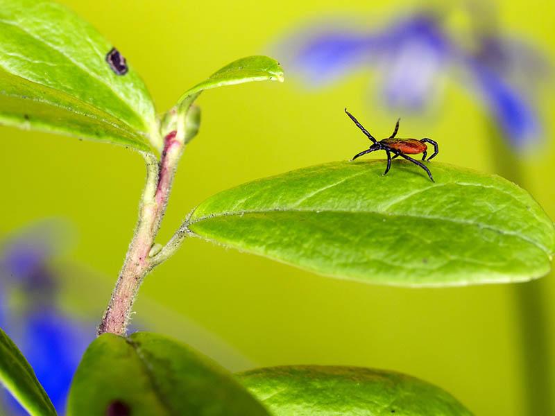Zecken können Lyme-Borreliose und die Frühsommer-Meningoenzephalitis verursachen
